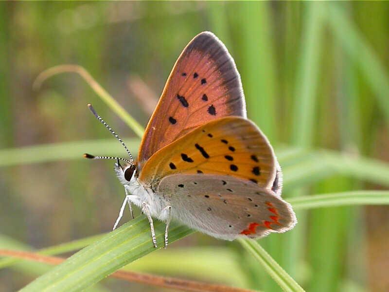 Purplish Copper � wisconsinbutterflies.org