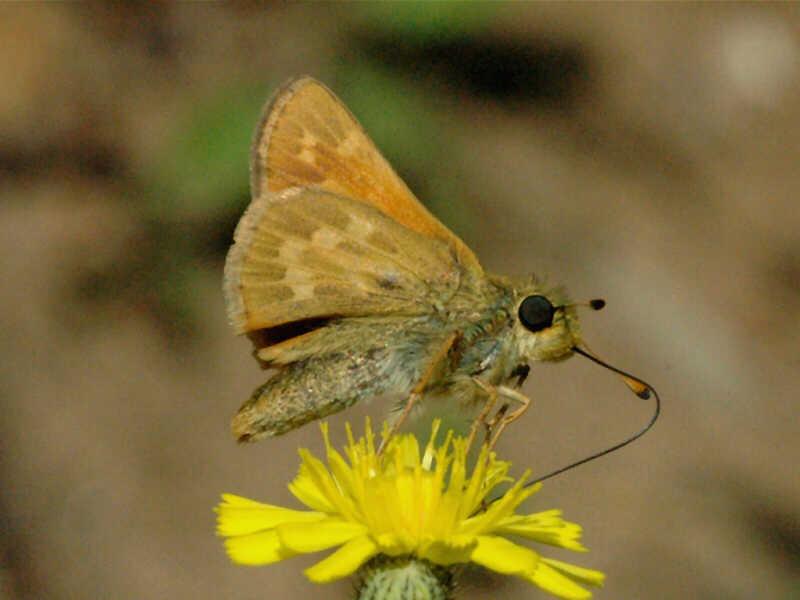 Indian Skipper Wisconsinbutterflies Org