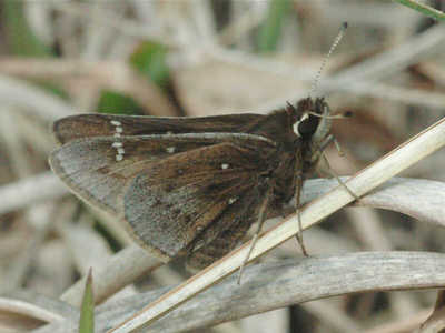 Dusted Skipper