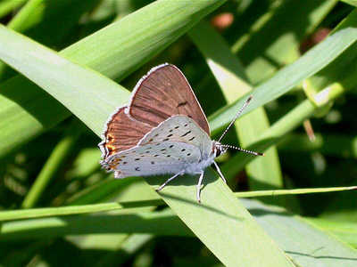 Gray Copper