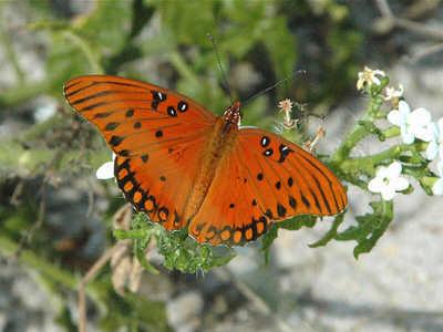 Fort Myers Honda >> Gulf Fritillary — wisconsinbutterflies.org