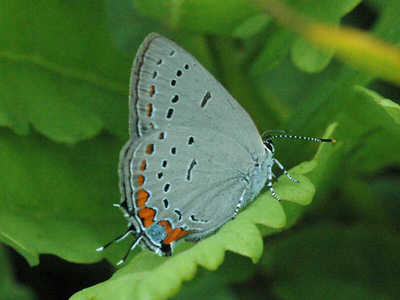 Acadian Hairstreak