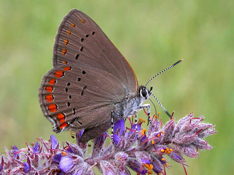 Coral Hairstreak � wisconsinbutterflies.org