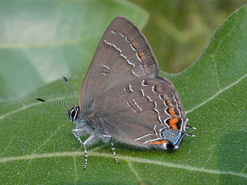 Banded Hairstreak � wisconsinbutterflies.org