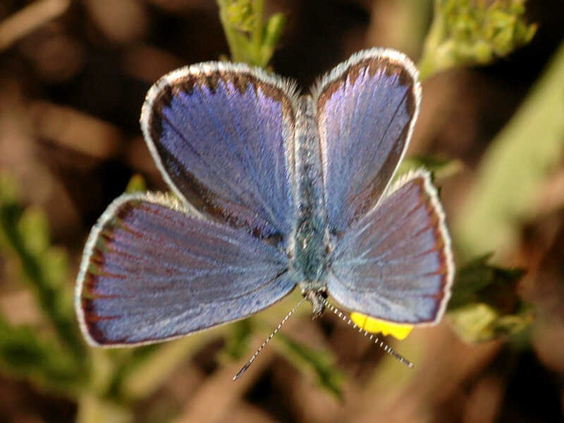 Northern Blue — wisconsinbutterflies org
