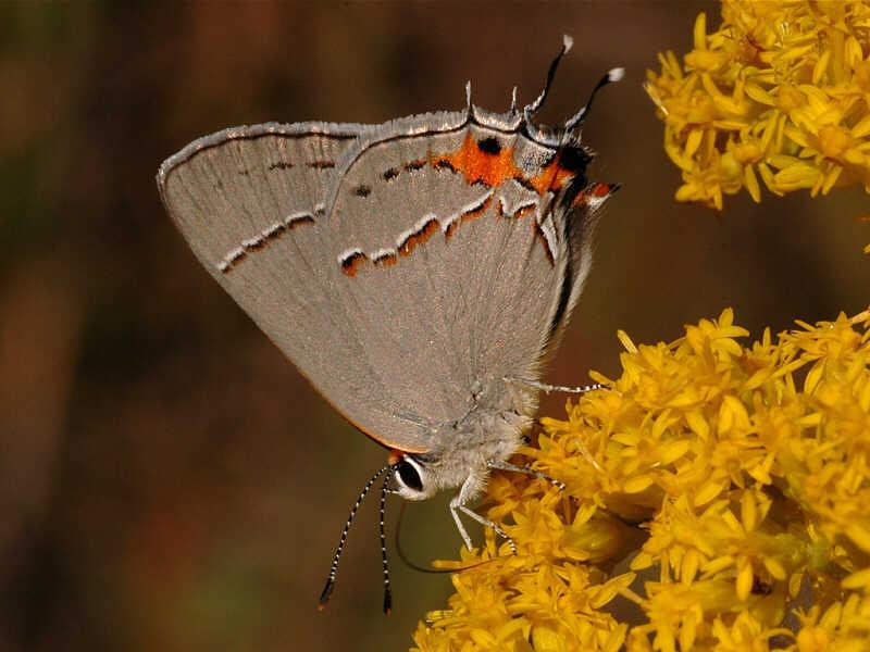 Gray Hairstreak � wisconsinbutterflies.org