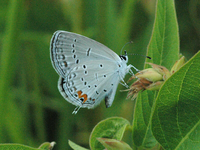 Eastern Tailed-Blue — wisconsinbutterflies org