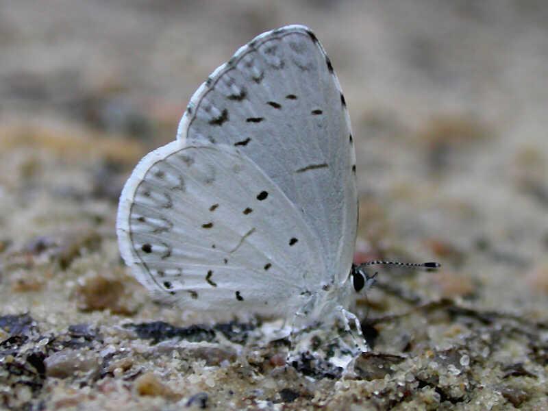 Summer Spring Azure Wisconsinbutterflies Org