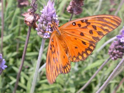 Honda Fort Pierce >> Gulf Fritillary — wisconsinbutterflies.org