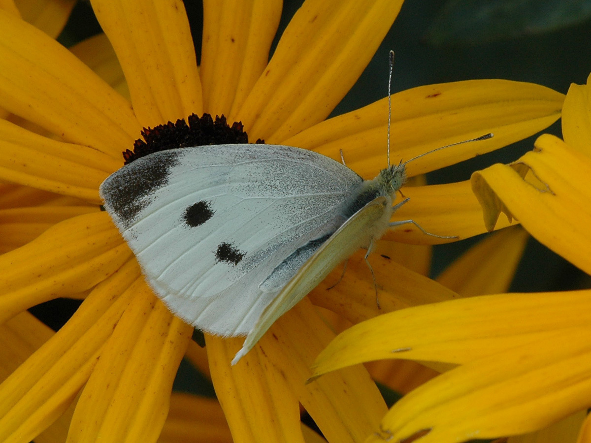 Cabbage White — wisconsinbutterflies.org
