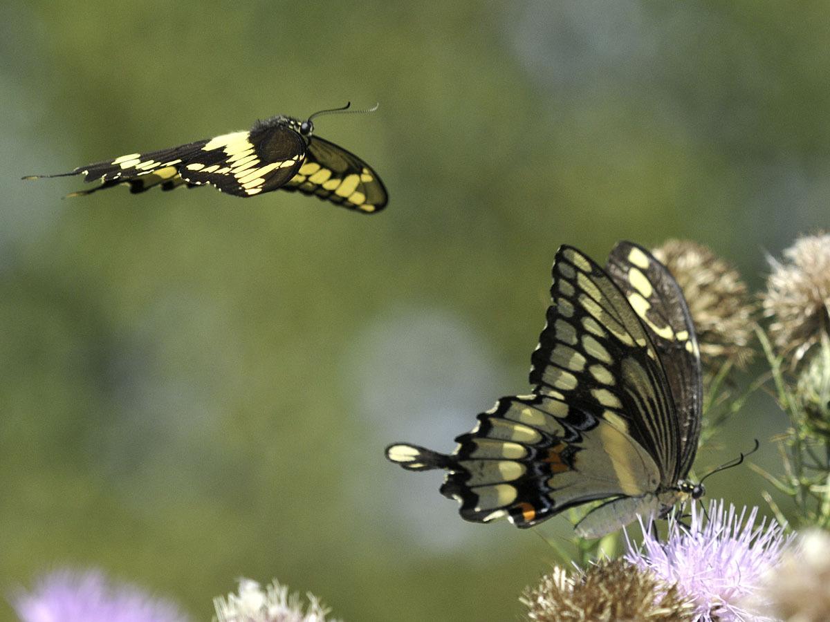 swallowtail butterfly identification