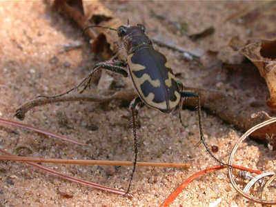 Big Sand Tiger Beetle