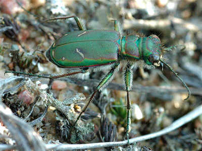 Cow Path Tiger Beetle