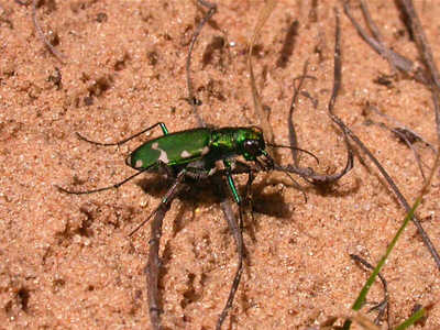 Northern Barrens Tiger Beetle