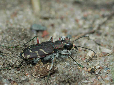 Obliqued-lined Tiger Beetle