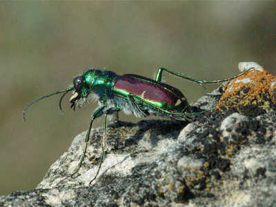 Splendid Tiger Beetle