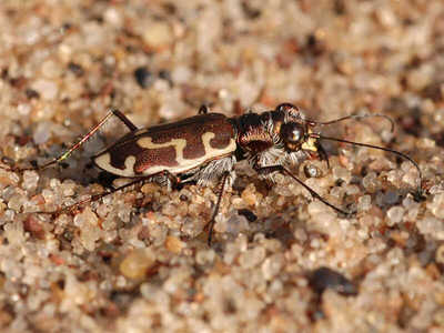 Hairy-necked Tiger Beetle