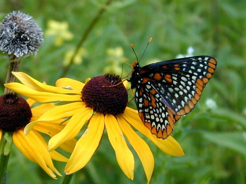 Baltimore Checkerspot Wisconsinbutterflies Org