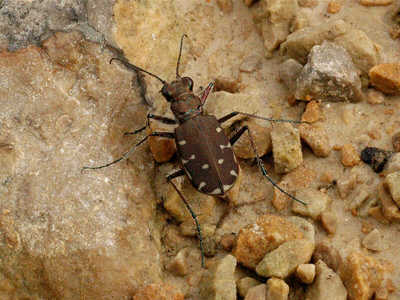 Twelve-spotted Tiger Beetle