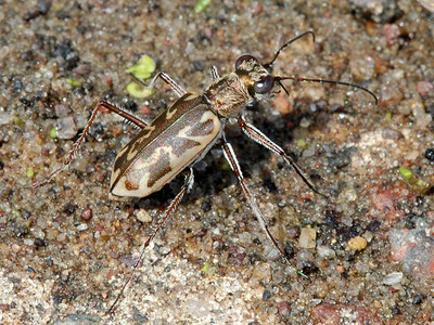 Sandy Stream Tiger Beetle