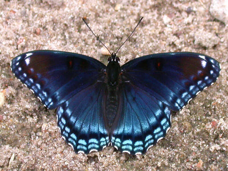 Red-spotted Purple — wisconsinbutterflies org
