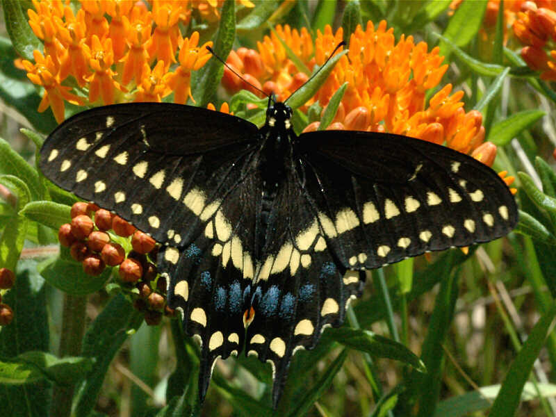 Black Swallowtail — wisconsinbutterflies org
